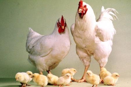 Цыплята бройлерные, РОСС 308, Кобб - 500
